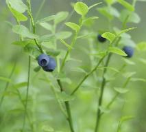 Borówka czernica, czyli czarna jagoda: właściwości zdrowotne i odżywcze