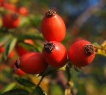 Domowe wino z dzikiej róży: klasyczny przepis